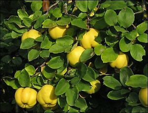 QUINCE FRUIT FOR SALE