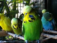 SPECIAL! Beautiful English budgies!