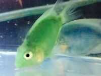 Green Parrot fish for sale live tropical fish