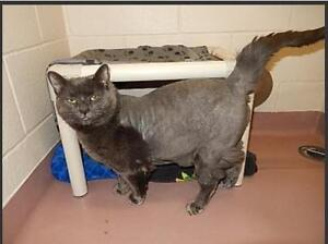 "Adult Female Cat - Russian Blue: ""MUNCHKIN"""