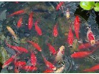 goldfish and shubunkin pond