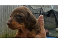 Mini Dachshund puppys