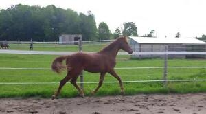 Talented Registered Hanoverian Gelding with a good mind