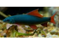 2x Ruby Rainbow Sharks Tropical Fish