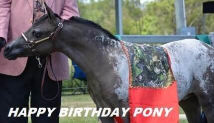 APPALOOSA PONY. ALSO MINIATURE (LITTLE HORSE)