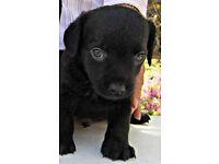 adorable terrier pups