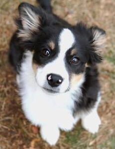 ISO Border Collie mix