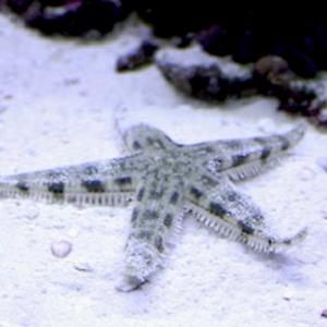 Sand Sifting Starfish