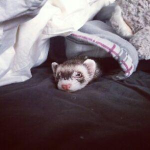 Lost Ferret!
