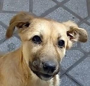 Baby Female  - Yellow Labrador Retriever-Shepherd
