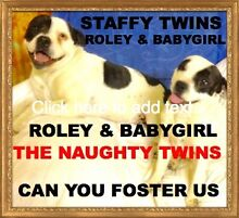 FOSTER HOME URGENT NEEDED FOR 2 STAFFY DOGS - AWAITING ADOPTION Parkwood Gold Coast City Preview