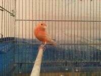 Canary canaries red mixed couple