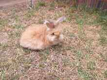 Purebred English Angora's baby rabbits Kyneton Macedon Ranges Preview