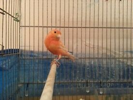 Canary canaries red or patchy cage available