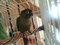 Green Cheek conure with lots of goodies/2 Cages