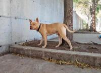 "Young Male Dog - American Staffordshire Terrier: ""Suban"""