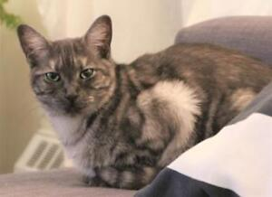 """Young Female Cat - Domestic Short Hair: """"Emy (Lana)"""""""