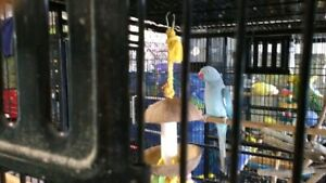 Male and female ringnecks