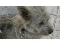 Full bred kain terrier dog