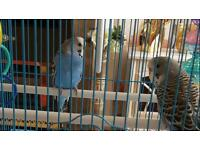 2 lovely budgies and cage