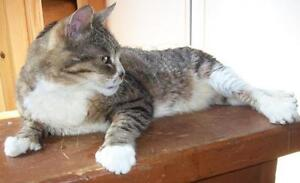 "Senior Male Cat - Domestic Short Hair-Tabby: ""Cracker"""
