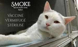 """Adult Male Cat - Domestic Short Hair - gray and white: """"Smoke"""""""