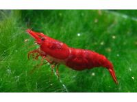 Red Sakura shrimps