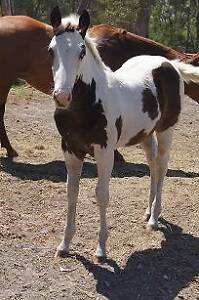 BAY TOBIANO FILLY, EX QUIET, REG, OUT STANDING QUALITY, FRIENDLY Maryborough Fraser Coast Preview