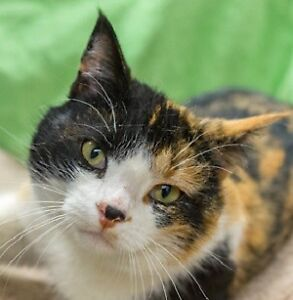 Meow Foundation's sweet Hepburn looking for purrfect home!