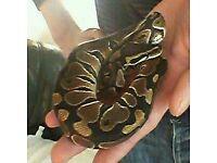 black pastel royal python