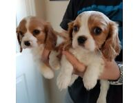 Cavalier King Charles Spaniel Puppies READY NOW