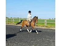 Fantastic allround pony 14 2hh 10yrs gelding