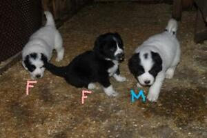 Great Pyrenees/Border Collie Puppies for Sale