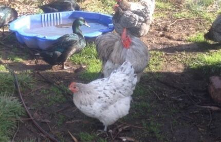 Fertile Blue/ Splash Australorp eggs Colac Colac-Otway Area Preview