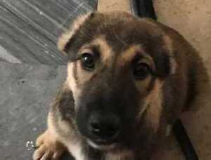 "Baby Male Dog - Labrador Retriever-Shepherd: ""APOLLO (Arrived)"""