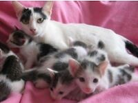 Kittens For Sale (3 males & 2 females)