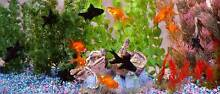 White Clouds, Gold Fish, Tropical, Axolotls, Crabs, Hermit Crab Stepney Norwood Area Preview