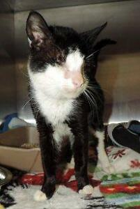 "Adult Male Cat - Domestic Short Hair: ""Walter Chestnut"""