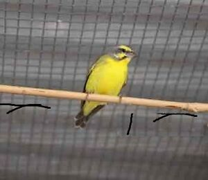 ANNIVERSARY SALE GREEN FINCH AVAILABLE AT CENTRAL PET TORONTO