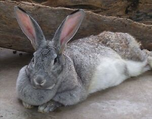 Lonely Flemish giant bunnies need companions