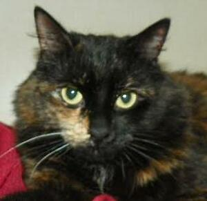 "Adult Female Cat - Domestic Medium Hair: ""Audrey *Happy Single*"""