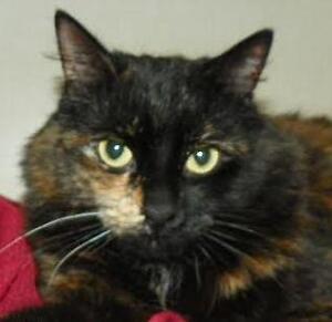 "Adult Female Cat - Domestic Medium Hair: ""Audrey *Happy Single*"""