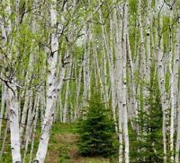 SPRUCE & BIRCH TREES FOR SALE !!!