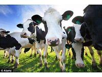 Trainee Dairy herdsperson