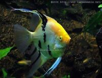 LOOKING FOR FRESHWATER ANGELFISH
