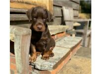 Chocolate Doberman Puppy - boy