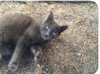 """Young Male Cat - Russian Blue-Domestic Short Hair: """"Grigio"""""""