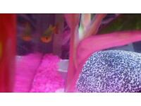 Orange platy fish