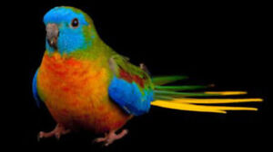 Wanted - Pair of Turquoisine Parakeets