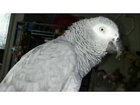 MISSING AFRICAN GREY RED TAIL